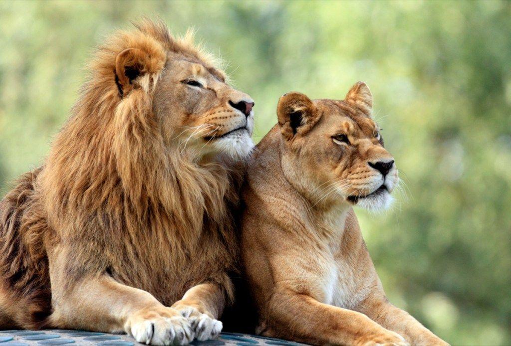 Лев и его интересы